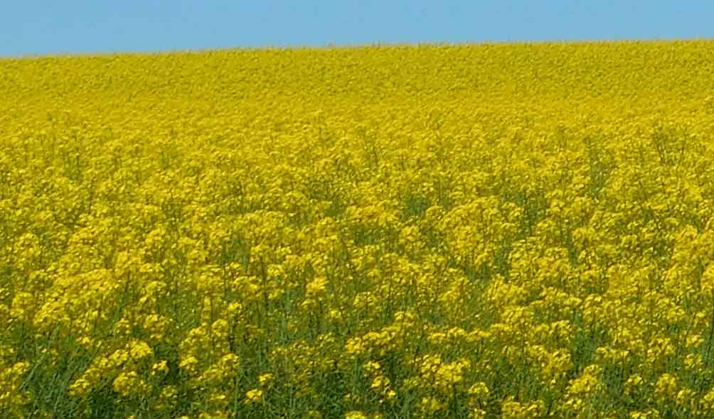 Canola Products